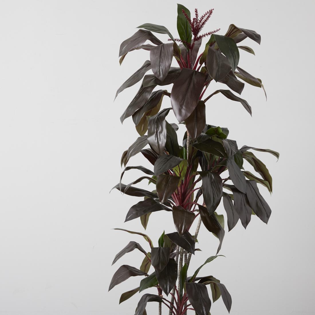 Cordyline Fruticosa 180CM