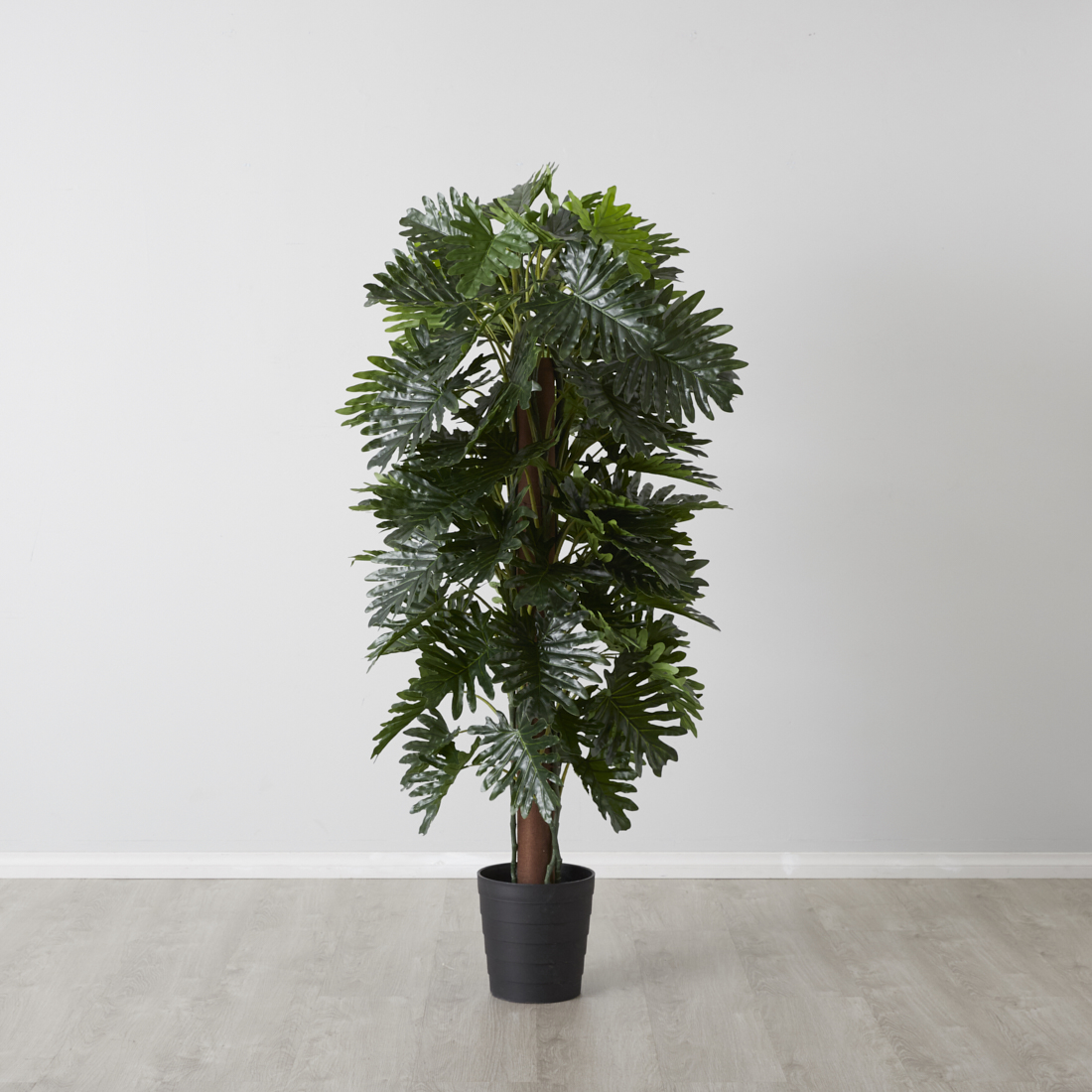 Philodendron with pot